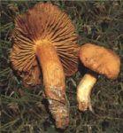 cortinariusorellanus